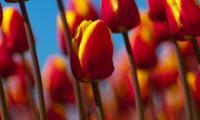 Bloemen, tulpenveld